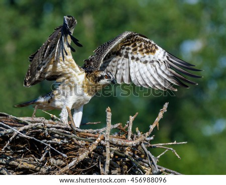 Osprey with Open Wings Standing in the Nest
