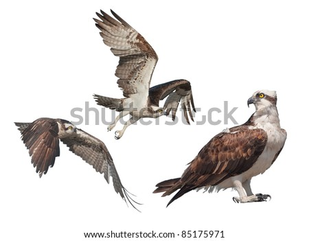 Ospreys still and  in flight, isolated on white. Latin name - Pandion haliaetus.