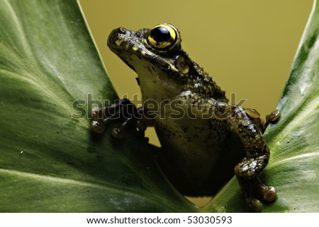 Osteocephalus leprieurii tree frog in the bolivian rain forest sitting on big leaf