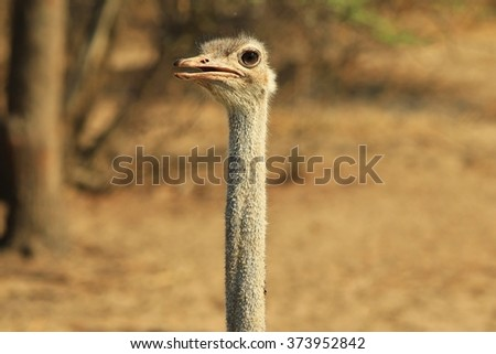 Ostrich - African Wildlife Background - Funny Nature
