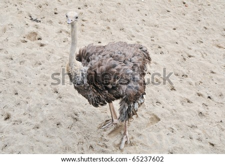 Ostrich at the zoo - stock photo