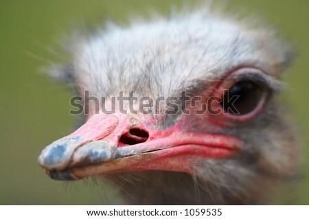 Ostrich beak - stock photo