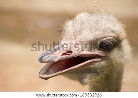 Ostrich bird  in Thailand - stock photo