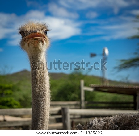 Ostrich Bird - View around Curacao a Caribbean Island - stock photo