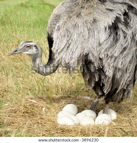 Ostrich Chick in front of a white background - stock photo