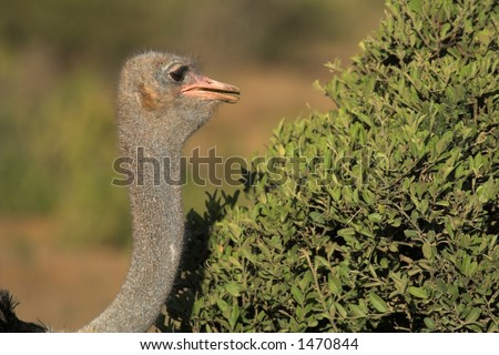 Ostrich close up - stock photo