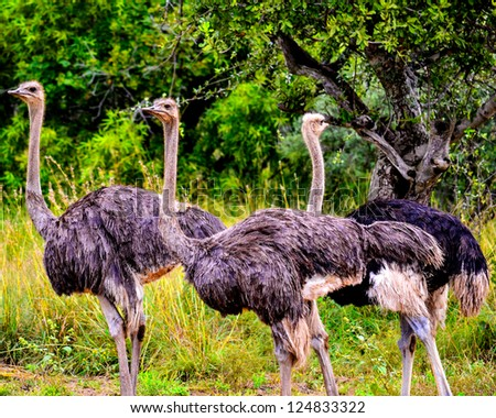 Ostrich Day - stock photo