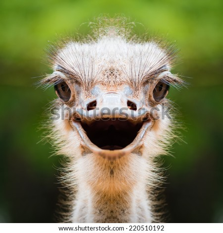 Ostrich face close up - stock photo