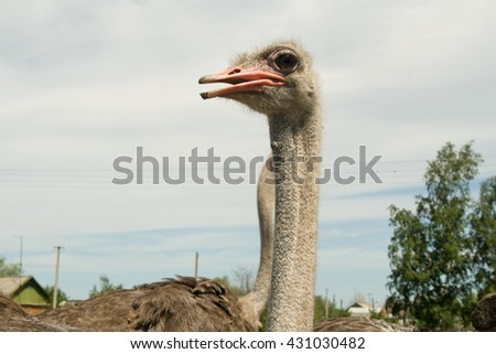ostrich farm - the life of ostriches on a farm, love and training, communication with the host
