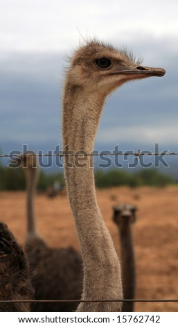 Ostrich from a group is watching over razor wire.