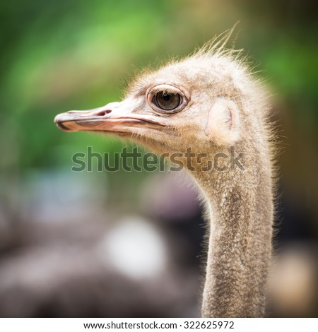 Ostrich head and neck closeup selective focus at the eye