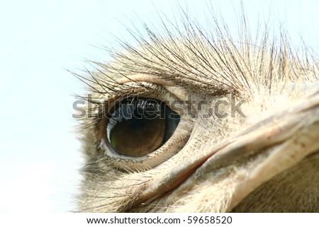 Ostrich: Head close up - stock photo