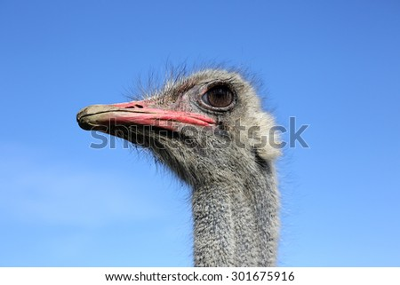 ostrich head close-up on the sky background