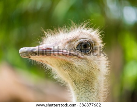 Ostrich head closeup - stock photo