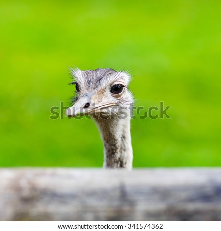 Ostrich head closeup. Animal zoo, outdoors. - stock photo