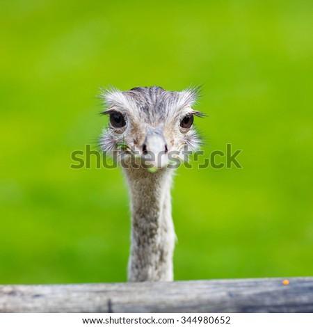 Ostrich head closeup. Animal zoo, outdoors. - stock photo