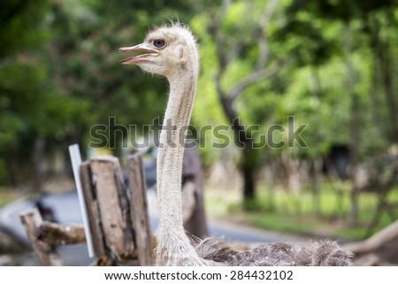 Ostrich headshot close up. - stock photo