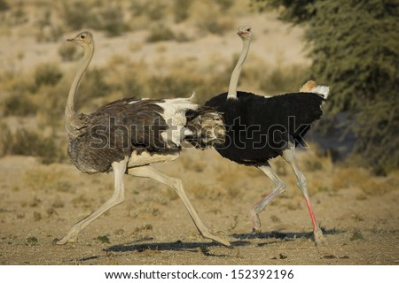 Ostrich male and female mating display, Kalahari, South Africa