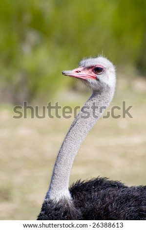 Ostrich on a farm animal breeding - stock photo