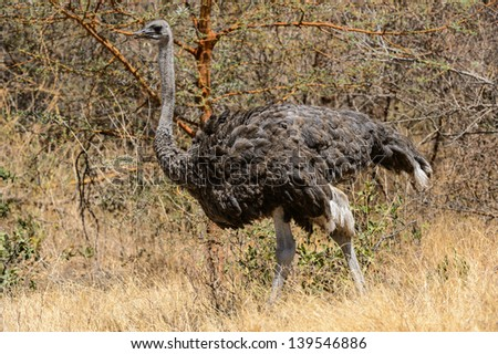 Ostrich on hot day - stock photo