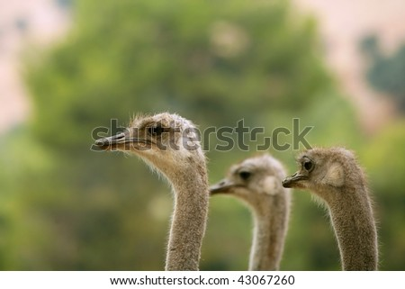 Ostrich portrait outdoor three neck and heads in a row