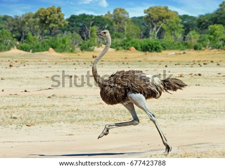 stock-photo-ostrich-running-across-the-h