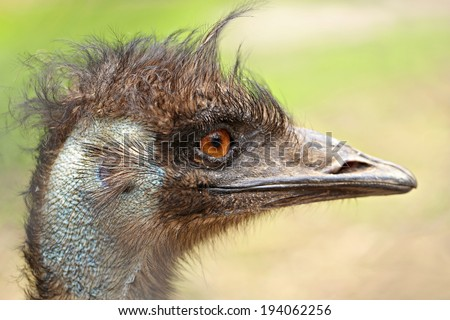 Ostrich stares into the camera