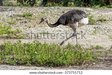 Ostrich / Struthio camelus - stock photo