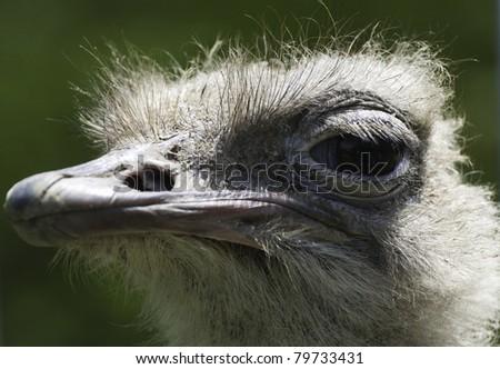 Ostrich (Struthio camelus) - stock photo