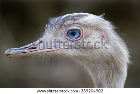 ostrich with blue eye