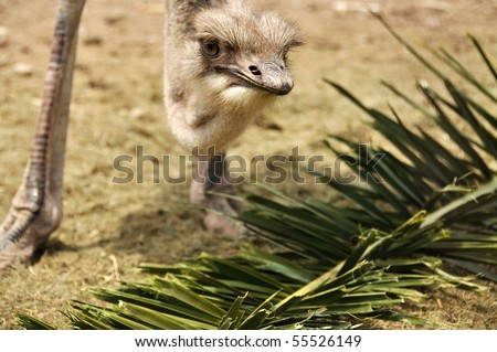 Ostrich with its food