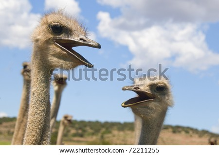 Ostriches chatting - stock photo