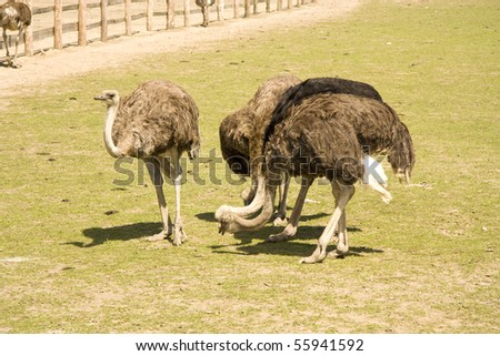 Ostriches eat near a farm in the afternoon