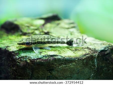 Otocinclus macrospilus vitattus fish. Armored oto catfish dwarf sucker. perfect algae eater. macro view, soft focus.  - stock photo