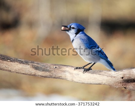 OTTAWA, CANADA - FEB. 2, 2016: A Blue Jay with a peanut on a branch in woods near the Ottawa River.  - stock photo
