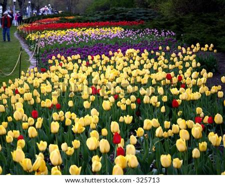 Ottawa Tulip festival at Dows Lake - stock photo