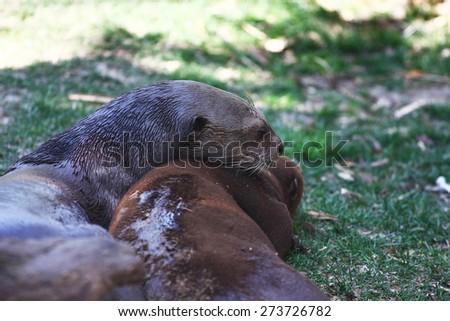 otter couple - stock photo
