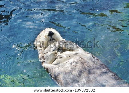 Otter Floating in the Water - stock photo