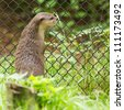 Otter in captivity is looking through the fence of it's cage (Holland) - stock photo