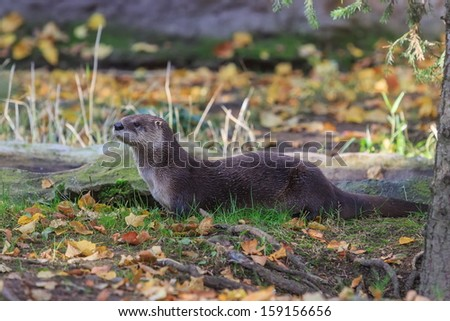 otter in nature - stock photo