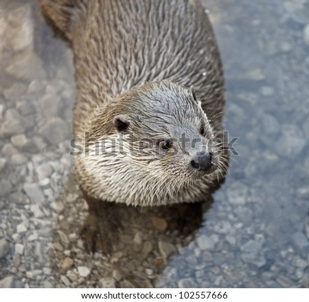 otter  in water