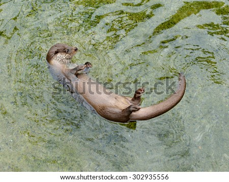 Otter is common name for carnivorous mammal in subfamily Lutrinae - stock photo