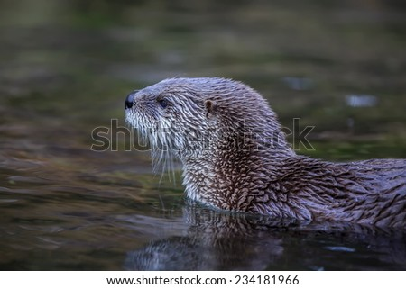 otter is swimming - stock photo