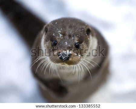 Otter Looking Curiously at the Photographer