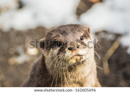 Otter looking long fully  - stock photo