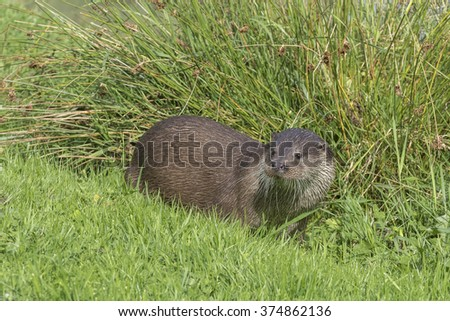Otter (Lutra lutra) in the wild