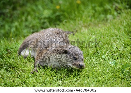 Otter on riverbank in lush green grass of Summer