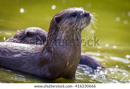 Otter playing in the water - stock photo
