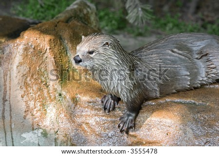 Otter. Sort : Lutra canadensis
