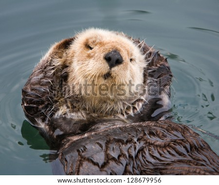 Otter with personality posing with flippers behind head, Morro Bay Harbor, California